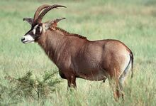 1-roan-antelope-moswe590a.jpg