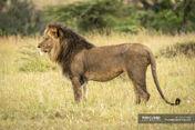 African Lion in Serengeti