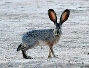 BlacktailedJackrabbit