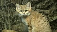Cincinnati Zoo Sand Cat