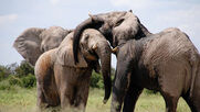 Default-1519656896-elephants-canoodling