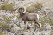 Desert bighorn sheep (Ovis canadensis nelsoni).jpg