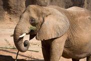Elephant tara ZA 7221-b