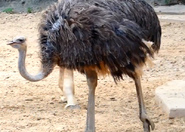 Houston Zoo Ostrich