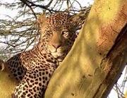 HugoSafari - Leopard01.jpg