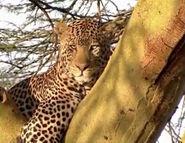 HugoSafari - Leopard01