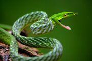 Long-nosed whip snake.jpg