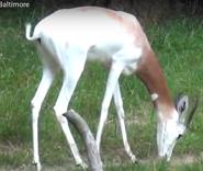 Maryland Zoo Gazelle