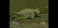 Maximum Exposure Crocodile
