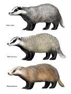 Meles Genus
