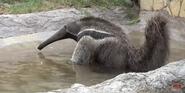 San Antonio Zoo Anteater