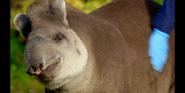 TSLoTZ Tapir