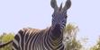 Toledo Zoo Zebra