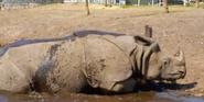 WMSP Indian Rhinoceros