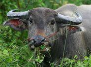Water Buffalo, Phayao Lake