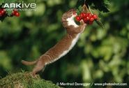 Weasel-on-hind-legs-eating-berries