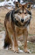 Wolf, Tibetan