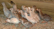 Young Guinea Keets