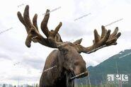 Agefotostock Eastern Moose