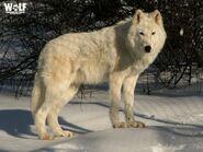 Arctic Wolf (V2)