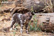 Baby African Wild Dog