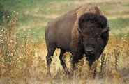 Bison-bison-bison