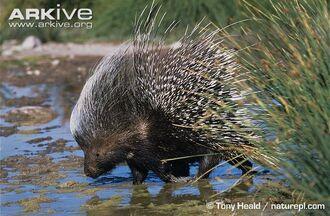 Cape-porcupine-drinking.jpg