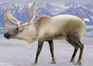 Caribou switch zoo
