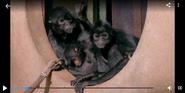 Chester Zoo Spider Monkeys