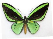 Common green birdwing butterfly.jpg