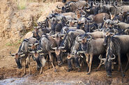 Confusion of Wildebeests