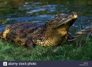 Crocodile, Eastern Nile (V2)