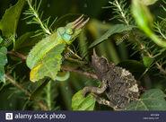 Male and Female Jackson's Chameleons