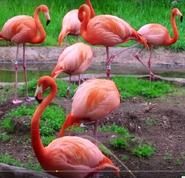 Maryland Zoo Flamingos