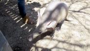 Rolling Hills Zoo Aardvark
