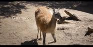 San Diego Zoo Guanaco