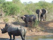 White Rhino Buffalo and Elephant