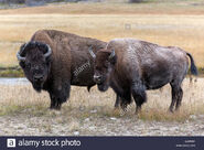 American Bison Bull and Cow