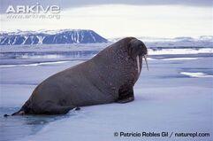 Atlantic-walrus-on-ice-side-view.jpg