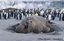Bull-southern-elephant-seal-on-beach-penguins-in-back-ground.jpg