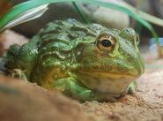Bullfrog, African