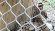 Columbus Zoo Serval (V2)