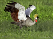 Grey crowned crane (Balearica regulorum)