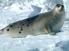 Harp seal (adult).jpg