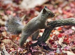 Japanese Squirrel edit2.jpg