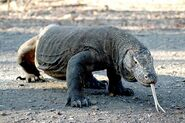 Komodo Dragon (Male)