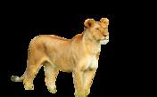 Lioness Blank Render
