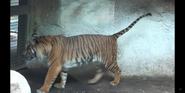 Louisville Zoo Tiger