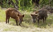 Male and Female Wild Boars