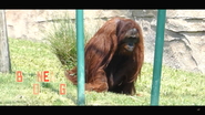 Virginia Zoo Orangutan V2